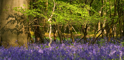 New Forest Bluebells