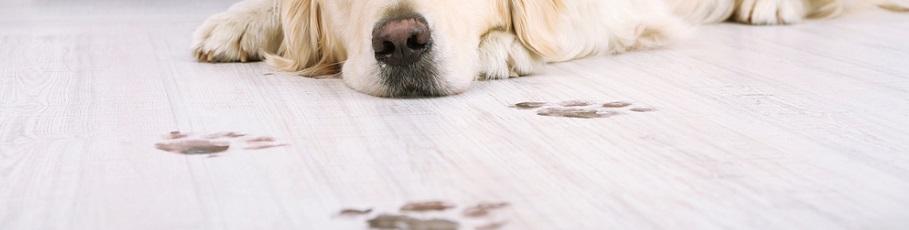 Paw Prints on Carpet