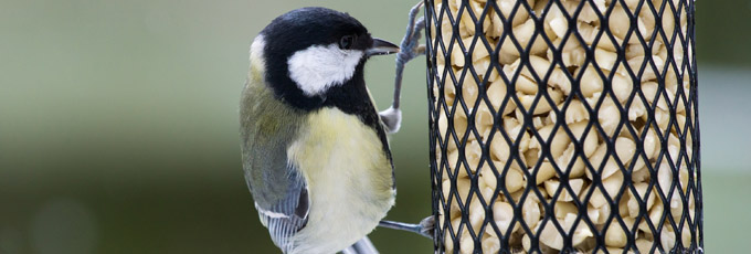 Great Tit Eating From A Bird Feeder