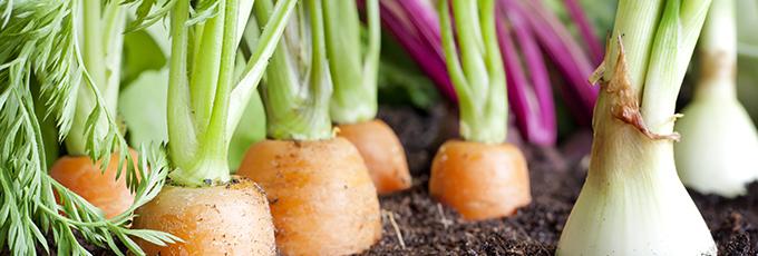 Carrots Growing In Soil
