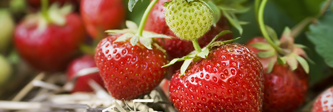 Close Up Of Strawberries Growing