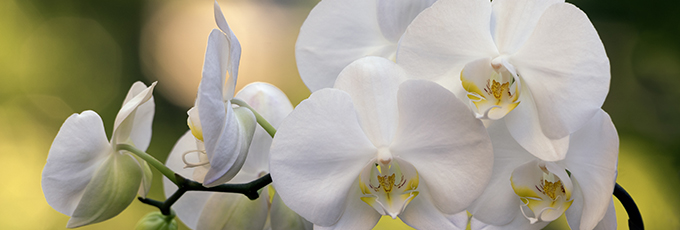 The Branch Of Orchids
