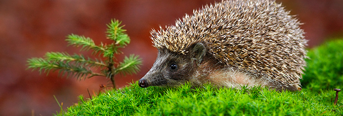 West European Hedgehog In Garden