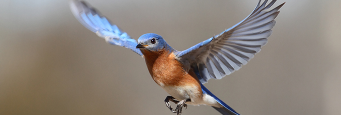 Male Bluebird In Flight
