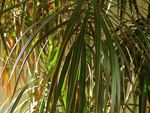 Red-edged dracaena plant