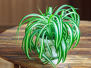 Spider plant in the home