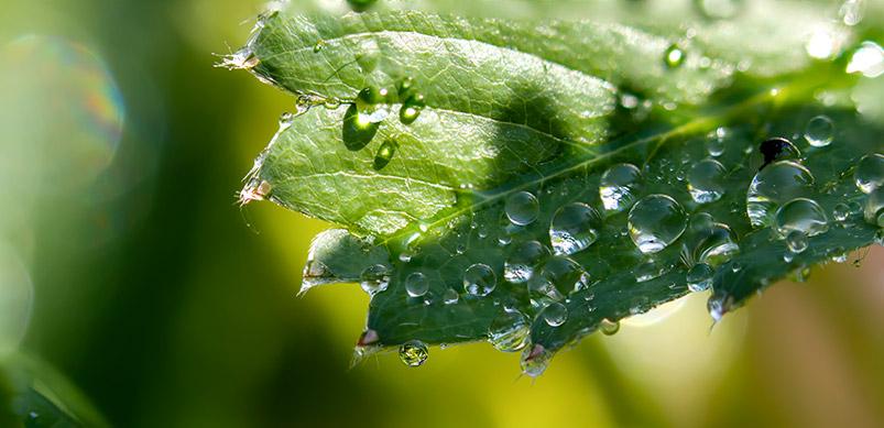 Plant Sap On Leaf